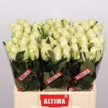 Roos 60cm Athena