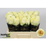Roos 50cm Buttercup