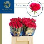 Roos 40cm Fuchsiana