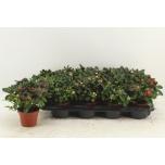 Rhododendron Asalea 12cm