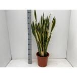 Sanseveria Havisaba Laurentii 27cm