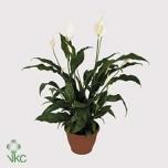 Spathiyphyllum Tõlvlehik 13cm