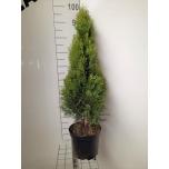 Thuja Smaragd 21cm