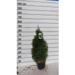 Thuja Smaragd 23cm