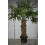 Trachycarpus fortunei 55cm
