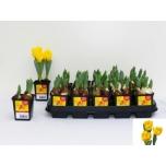 Tulipa Tulp 7cm kollane
