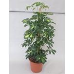 Schefflera arboricola compacta 27cm