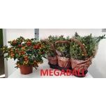Solanum pseudocapsicum 19cm