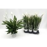 Spathiphyllum silver cupido 17cm