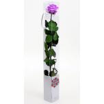 Stabiliseeritud Amorosa Bright Lilac 1TK