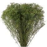 Broom Fleuri Vert