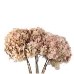 Stabiliseeritud Hortensia NATURAL CREAM/PINK
