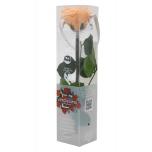 Stabiliseeritud Roos Amorosa Mini Kinkekarbis Virsik 1TK