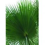 Preserved palm leaf Washingtonia 120/140 Vert