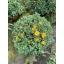2021 32 Chrysanthemum 19 cm 82612 (3).JPG