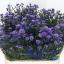 aster-astee-dark-lilac-wholesale.jpg