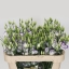 EUSTOMA-LISIANTHUS-ARENA-BLUE-PICOTEE-wholesale-flowers.jpg