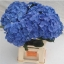 hydrangea-bela-blue-wholesale-1.jpg