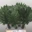 Philodendron-Xanadu-55cm.jpg