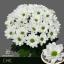 product/img.ozexport.nl/CHRCHI-LIVE_fotos-0x808165D1BC3643F4D6AC9C626E4974BF400EBD58.jpg