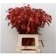 product/img.ozexport.nl/LCHAS6-ASSORTI_fotos-MVA-GRECOR - Chasmanthium paint red.jpg