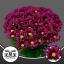 product/img.ozexport.nl/LCHRPUR-LIVE_fotos-0x1051AFB8730328CDD47F9AF94FF9054B2DB81CB9.jpg