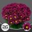 product/img.ozexport.nl/LCHRPUR-LIVE_fotos-0x33B403D5997CEAEB90A0FFF7687D5A088DF0E2CB.jpg