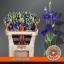 product/img.ozexport.nl/LEUSROBLU-ASSORTI_fotos-Assorti-Wijk - Waalzicht - Lisianthus du rosita blue.jpg