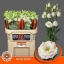 product/img.ozexport.nl/LEUSROW-ASSORTI_fotos-MVA-Waalzicht - rosita white.jpg