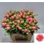 product/img.ozexport.nl/LPOJCORCH55-LIVE_fotos-0x58D46214DCA109ECBC83E60FA10AEBAE411F77B2.jpg