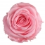PRZ1420-01-rosa-tallo-standard.jpg