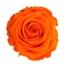 PRZ1530-01-rosa-tallo-standard.jpg