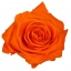 PRZ7530-01-rosa-tallo-premium.jpg